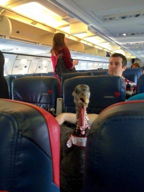 Emotional Support Turkey flies on Delta Air Lines…