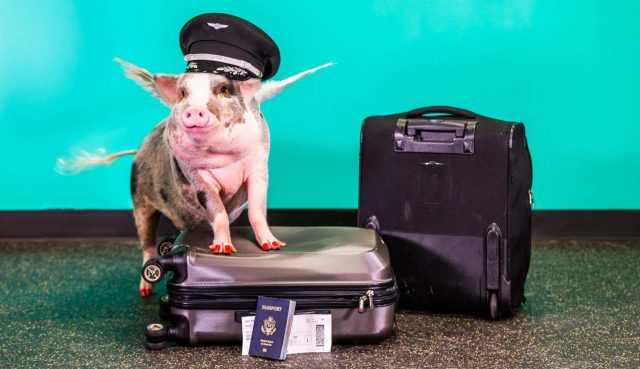 San Francisco Airport gets new (and unique) therapy pig named LiLou